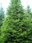Abies Normandiana