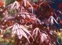 """Acer Palmatum """"Atropurpureum"""""""