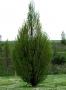 Carpinus Betulus Pyramidalis