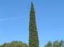 Cupressus Semprevirens Pyramidalis