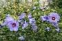 Hibiscus Syriacus in varietà