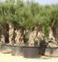 Olivi Ornamentali