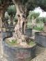 Olivo 0025