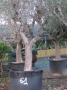 Olivo 0061