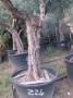Olivo 0224