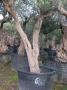 Olivo 0645