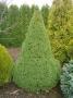 Picea Glauca Albertiana Conica