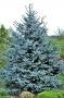 """Picea Pungens """"Hoopsi"""""""